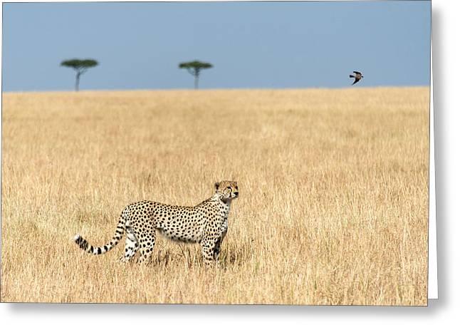 Acinonyx Jubatus Greeting Cards - Cheetah Acinonyx Jubatus In Plains Greeting Card by Panoramic Images