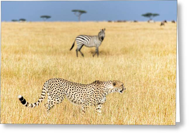Acinonyx Jubatus Greeting Cards - Cheetah Acinonyx Jubatus Looking Greeting Card by Panoramic Images