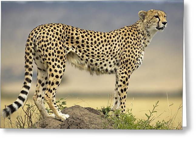 Cheetah Acinonyx Jubatus On Termite Greeting Card by Winfried Wisniewski