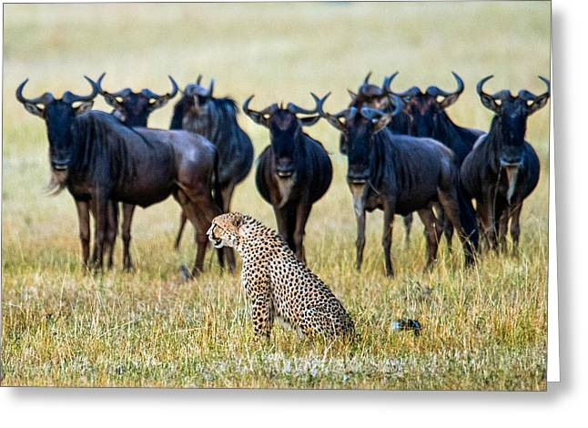 Acinonyx Jubatus Greeting Cards - Cheetah Acinonyx Jubatus With Blue Greeting Card by Panoramic Images