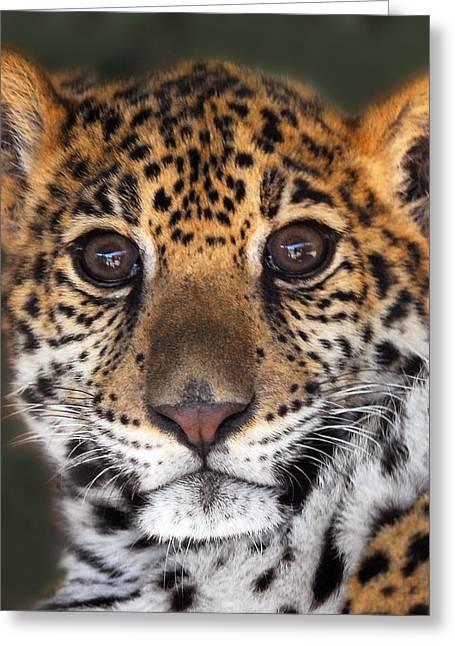Large Cats Greeting Cards - Cheetah Greeting Card by Craig Incardone