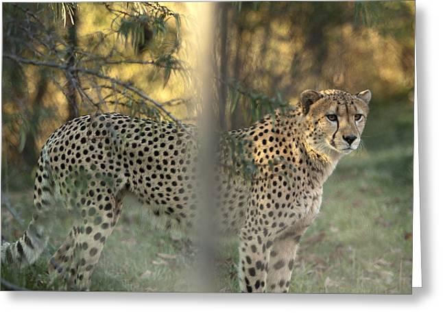 Cheetah Greeting Card by Mark Milar