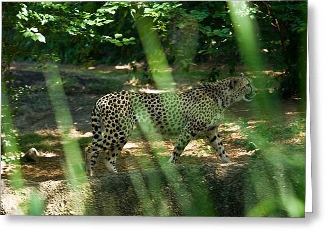 Cheetah on the in the Forest Greeting Card by Douglas Barnett