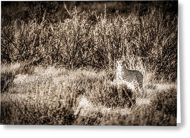 Cheetah On The Prowl - Toned Black And White Namibia Africa Photograph Greeting Card by Duane Miller