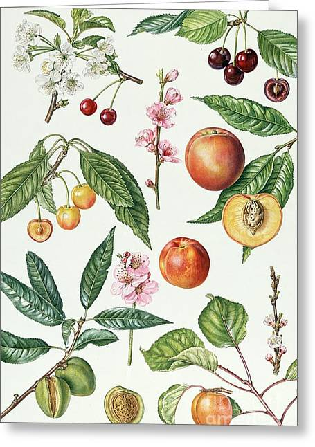 Apricots Paintings Greeting Cards - Cherries and other fruit-bearing trees  Greeting Card by Elizabeth Rice