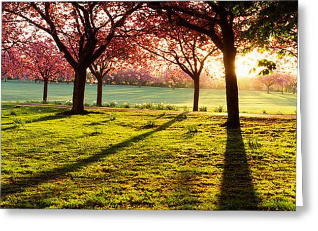 Stray Greeting Cards - Cherry Blossom In A Park At Dawn Greeting Card by Panoramic Images
