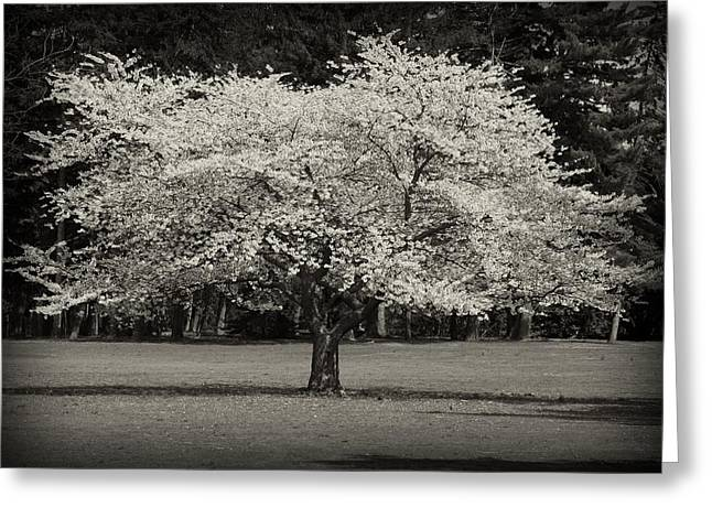Tress Greeting Cards Greeting Cards - Cherry Blossom Tree - Ocean County Park Greeting Card by Angie Tirado