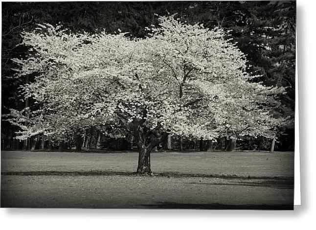 Cherry Blossom Tree - Ocean County Park Greeting Card by Angie Tirado