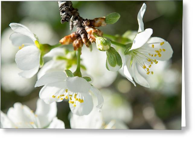 Faa Exclusive Greeting Cards - Cherry Blossoms 5 Greeting Card by Irina Effa