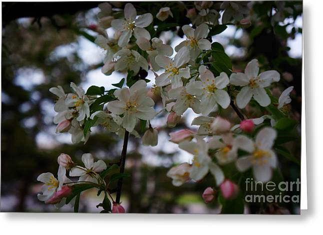 Cherry Blossoms Paintings Greeting Cards - Cherry Blossoms Greeting Card by Celestial Images