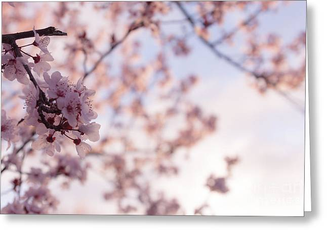 Pink Flower Branch Greeting Cards - Cherry Blossoms Greeting Card by Ana V  Ramirez