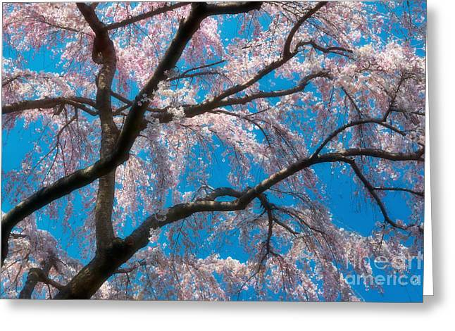 Bough Greeting Cards - Cherry Blossoms Blooming Two Greeting Card by Susan Isakson