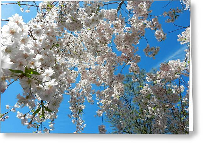 New Jersey Greeting Cards - Cherry Blossoms Greeting Card by Brian Manfra