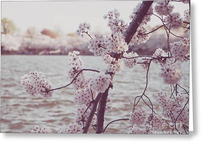 Cherry Blossom Festival Greeting Cards - Cherry Blossoms Greeting Card by Emily Enz