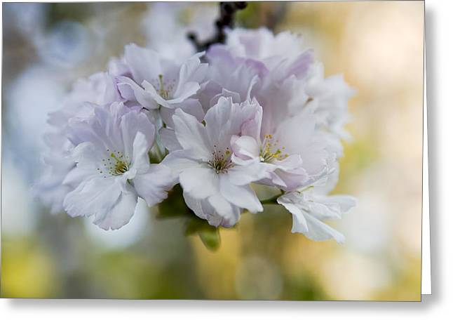 Cherry blossoms Greeting Card by Frank Tschakert