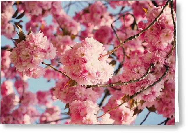 Cherry Blossoms Galore Greeting Card by Georgiana Romanovna