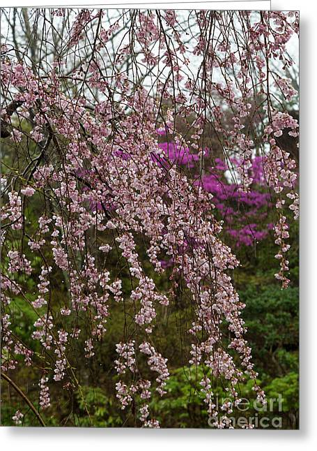 Weeping Greeting Cards - Cherry Blossoms in Yoshino- 2 Greeting Card by Rhonda Krause