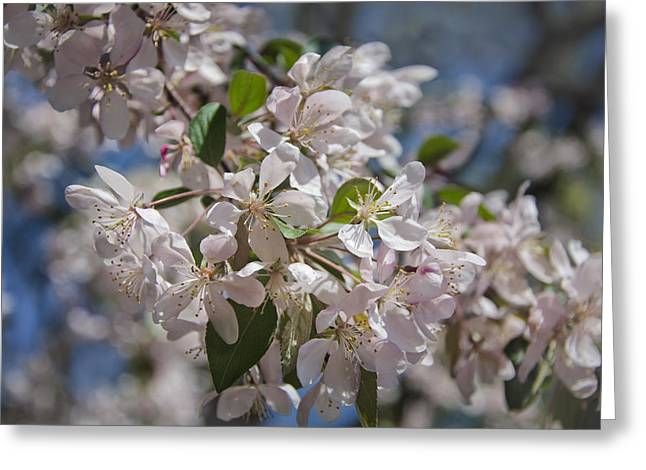 Garden Petal Image Greeting Cards - Cherry Blossoms Greeting Card by Joan Carroll