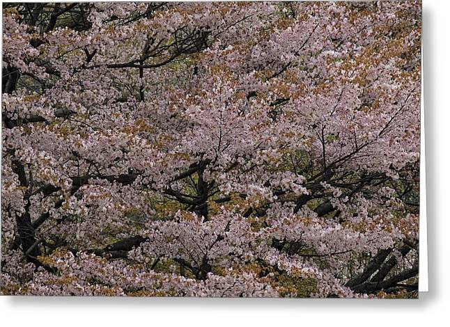 Cherry Blossoms Greeting Card by Robert Ullmann