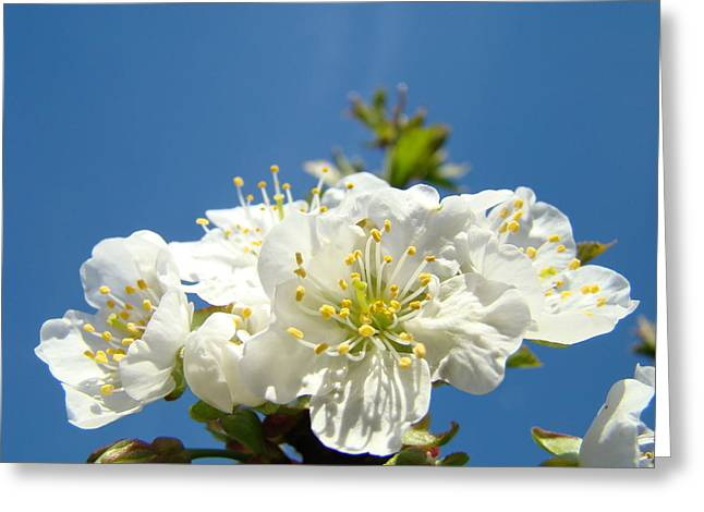 Pink Blossoms Greeting Cards - Cherry Blossoms White Spring Tree Blue Sky Baslee Troutman Greeting Card by Baslee Troutman