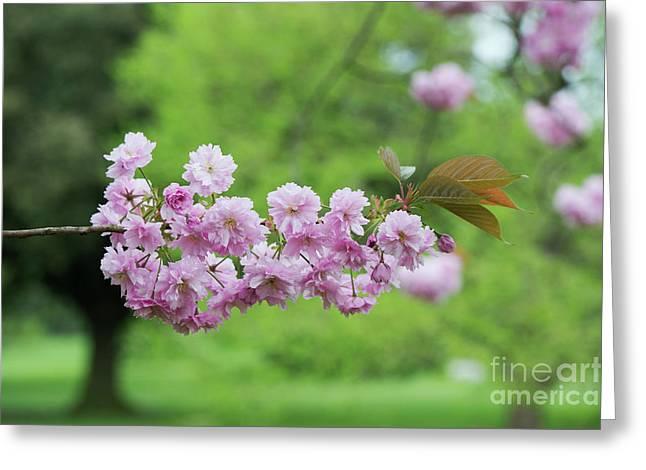 Cherry Kanzan Blossom Greeting Card by Tim Gainey