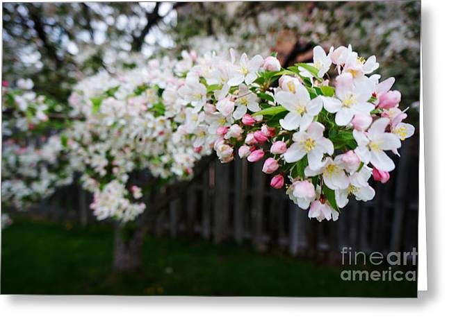 Essential Paintings Greeting Cards - Cherry Tree Greeting Card by Celestial Images