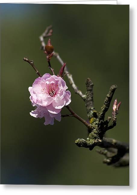 Recently Sold -  - Bloosom Greeting Cards - Cherry tree bloosom Greeting Card by Alexander Rozinov
