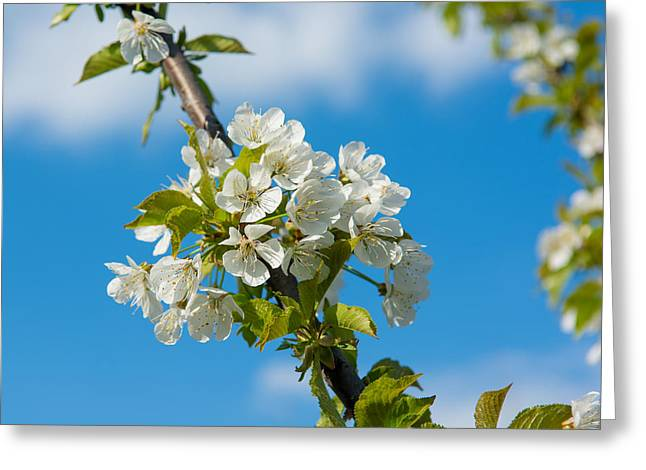 Fruit Tree Art Greeting Cards - Cherry Tree Blossoms Greeting Card by Andreas Berthold