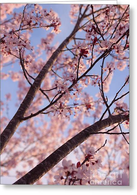 Pink Flower Branch Greeting Cards - Cherry Tree in Bloom Greeting Card by Ana V  Ramirez