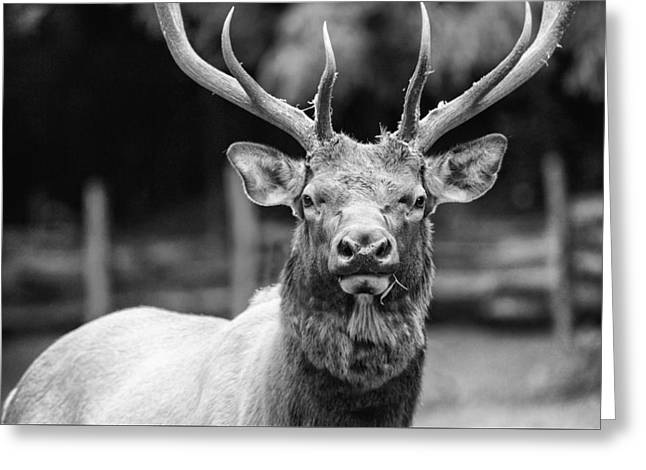 ist Photographs Greeting Cards - Chewing the Grass - bw Greeting Card by Joye Ardyn Durham