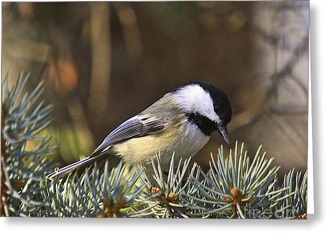Black Berries Greeting Cards - Chickadee-10 Greeting Card by Robert Pearson