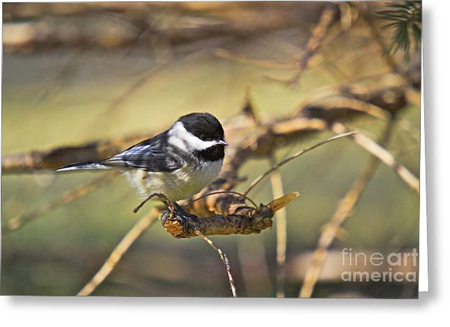 Feeder Framed Prints Greeting Cards - Chickadee-11 Greeting Card by Robert Pearson