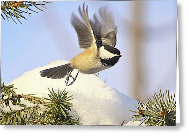 CHICKADEE-13 Greeting Card by Robert Pearson