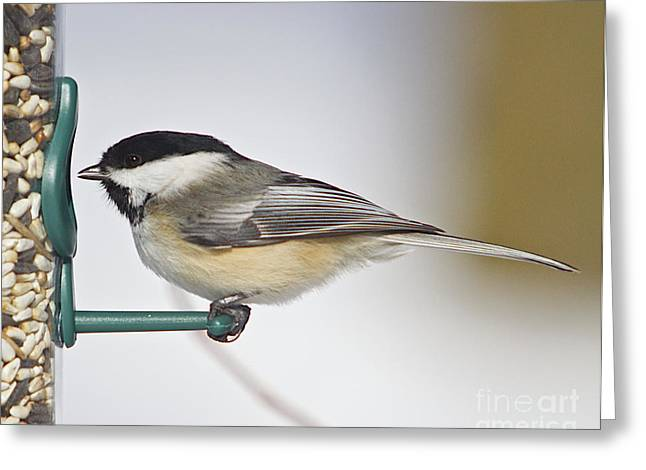 Feeder Framed Prints Greeting Cards - Chickadee-4 Greeting Card by Robert Pearson