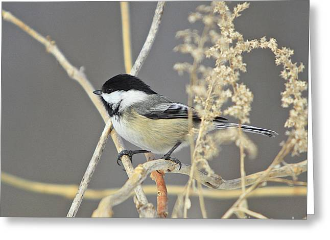 Feeder Framed Prints Greeting Cards - Chickadee-8 Greeting Card by Robert Pearson