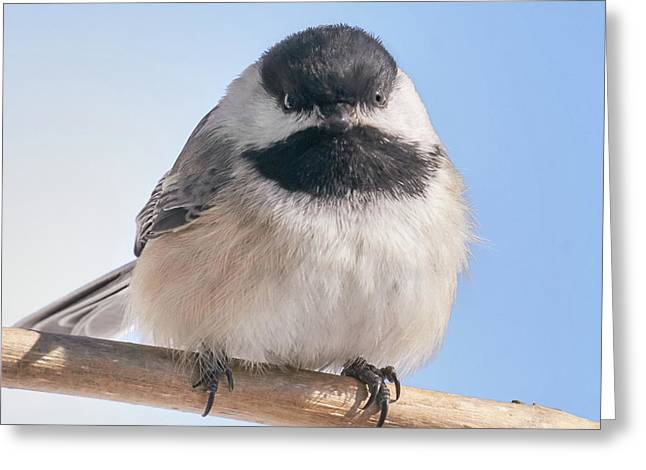 Birdwatching Greeting Cards - Chickadee at 5 below Greeting Card by Jim Hughes
