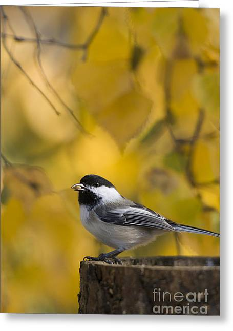 Chickadee On A Log Greeting Card by Tim Grams