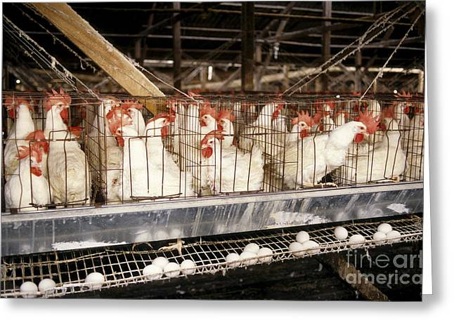 Chicken Laying Eggs Greeting Cards - Chickens In Cages Greeting Card by Inga Spence