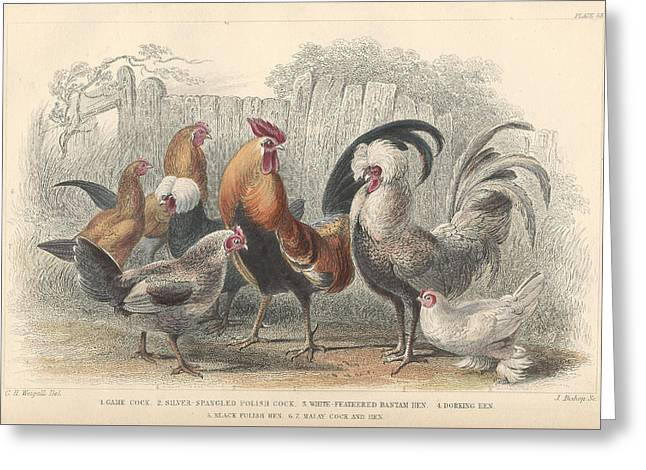 Thomas Drawings Greeting Cards - Chickens Greeting Card by Oliver Goldsmith