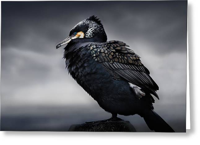 Cormorants Greeting Cards - Chief Greeting Card by Martin Eilertsen