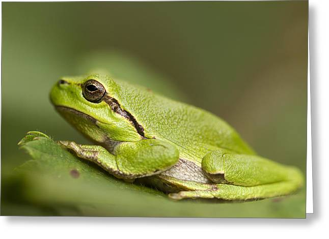 Tree Frog Greeting Cards - Chilling Tree Frog Greeting Card by Roeselien Raimond