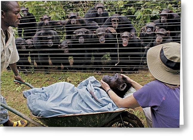 National Peoples Greeting Cards - Chimpanzees Look On In Grief Greeting Card by Monica Szczupider/National Geographic My Shot