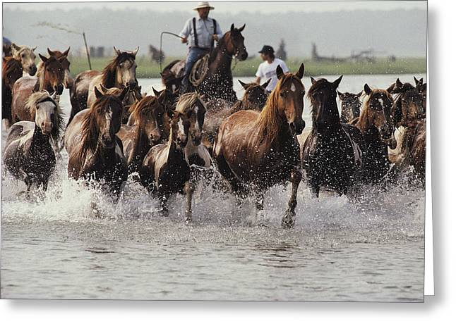 Horses With Nature Greeting Cards - Chincoteague Cowboys Drive Their Wild Greeting Card by Medford Taylor