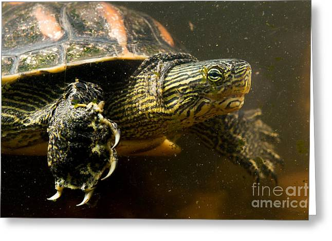 Chinese Pond Turtle Greeting Card by B.G. Thomson