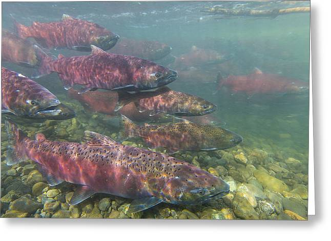 Chinook And Chum Salmon Greeting Card by Tim Grams