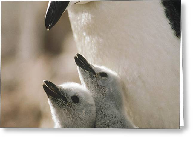 Chinstrap Penguin Pygoscelis Antarctica Greeting Card by Tui De Roy