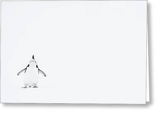 Cut-outs Greeting Cards - Chinstrap Penguin  Pygoscelis Greeting Card by Daisy Gilardini