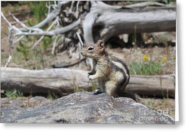 Ausra Paulauskaite Greeting Cards - Chipmunk at Yellowstone Greeting Card by Ausra Paulauskaite