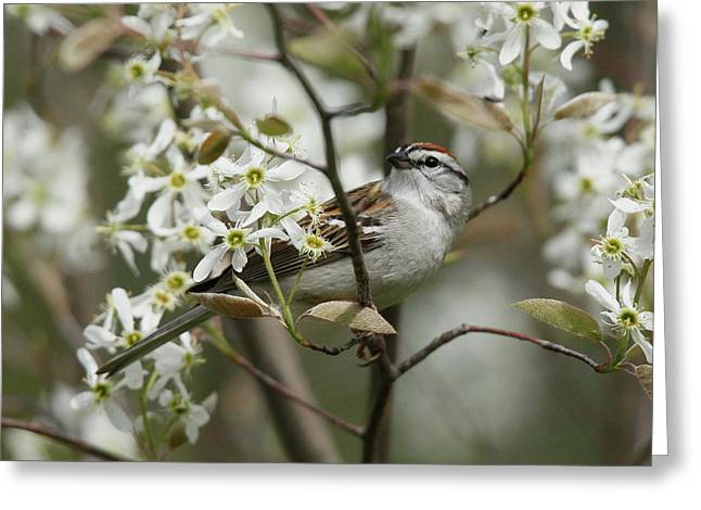 Chipping Sparrow Greeting Cards - Chipping Sparrow in Blooming Serviceberry Bush Greeting Card by Kevin Shank Family