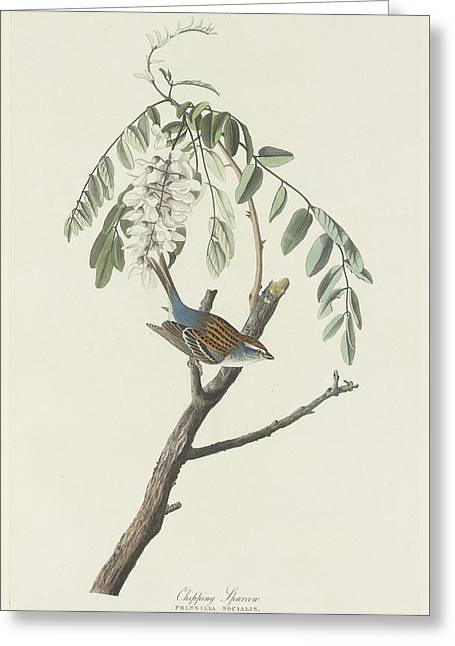Chipping Sparrow Greeting Cards - Chipping Sparrow Greeting Card by John James Audubon